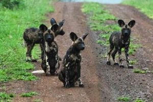 A pack of African Painted Dogs re: Wildlife ACT