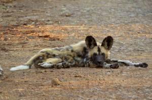 Wild Dog taking a nap Re: Wildlife ACT